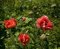 Blooming red poppies on grass background stock photography