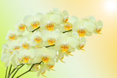Summer bouquet of beige orchid flowers Royalty Free Stock Photo