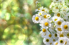 Summer daisies. Summer bouquet of daisies on a green background stock photo