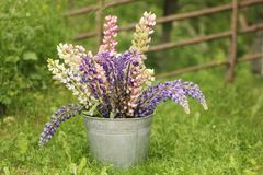 Lupine flowers in a bucket royalty free stock images