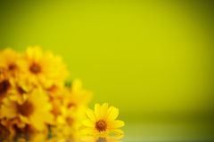 Summer bouquet of yellow daisies Stock Image