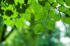 Summer branch with fresh green leaves background Royalty Free Stock Photography