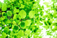 Summer branch with fresh green leaves on the green abstract backgrounds Royalty Free Stock Photo