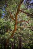 Summer branches spruce bottom view Royalty Free Stock Photo