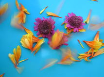 Summer breeze. Photograph of two purple daisies and some bright orange petals blown away in the wind against a bright blue background Stock Photography
