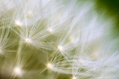 Summer Breeze. A dandelion macro close up Stock Photos