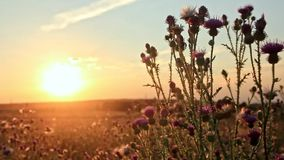 Thistle in a summer field at sunset. A summer breeze shakes the stems of a flowering thistle in the rays of the setting sun on the horizon stock footage