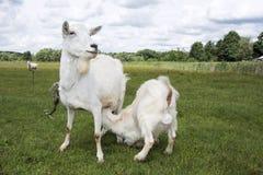 Summer bright sunny day goat kid feeding. Royalty Free Stock Photography
