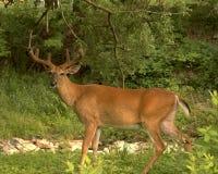 Summer Buck. Whitetail deer buck in summer velvet covering his antlers Stock Photography