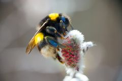 Free Summer Bumble Bee Insect Flower Macro Royalty Free Stock Photography - 57576417