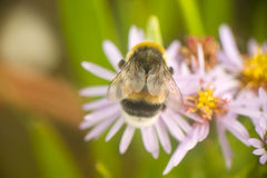 Summer Bumble bee insect flower macro Stock Photo