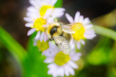 Summer Bumble bee insect flower macro Stock Images