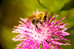 Summer Bumble bee insect flower macro Stock Photography