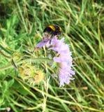 Summer bumblebee Stock Image