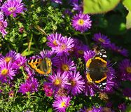 Summer Butterflies Royalty Free Stock Photography