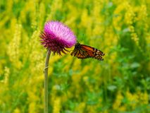 Summer butterfly. Juny. Midwest summer stock photography