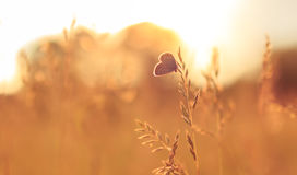 Summer. A butterfly sitting on a leaf or meadow in sunset with summer vibe Stock Images