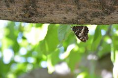 Butterfly on tree. At summer a butterfly trying to hide itself with same color tree Stock Photos