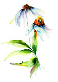 Summer Camomile flowers. Watercolor illustration Royalty Free Stock Photo