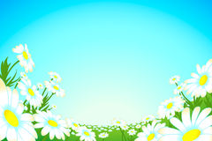 Summer camomile meadow Royalty Free Stock Photo