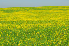 Summer canola field Royalty Free Stock Photos