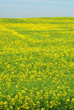 Summer canola field Royalty Free Stock Photo