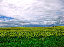 Summer Canola Fields Royalty Free Stock Images