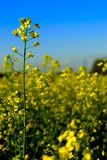 Summer Canola Rapeseed Crop. A single canola plant is in focus against a field of rape crop and a rich blue sky Royalty Free Stock Photo
