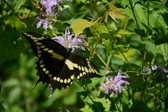 Giant Swallowtail Butterfly Tarrying On Blossom. Summer capture of a giant swallowtail butterfly, feeding on nectar from a purple wildflower blossom stock image