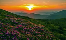 Summer Carpathians  sunrise landscape with rhododendrons Royalty Free Stock Photography