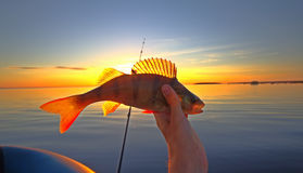 Summer catching fishing of a perch in the evening Royalty Free Stock Photos