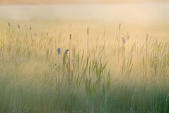 Summer Cattail Marsh Stock Photo