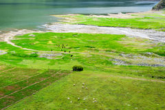 In the summer, cattle and sheep feed on the grass beside the lake. Cows and sheep feed on green pastures next to the lake in the summer of Qinghai province Royalty Free Stock Image