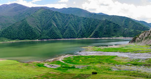 In the summer, cattle and sheep feed on the grass beside the lake. Cows and sheep feed on green pastures next to the lake in the summer of Qinghai province Royalty Free Stock Photos
