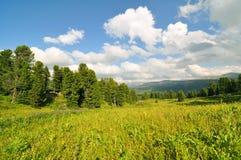 Summer cedar forest view Royalty Free Stock Photos