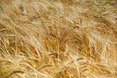 Summer cereal crop Royalty Free Stock Photography