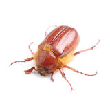 summer chafer (Amphimallon solstitiale) isolated on white Stock Photos