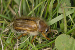 Summer Chafer Stock Photos