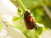 Summer Chafer. Beetle Amphimallon solstitialis on a foxglove stem Stock Photos