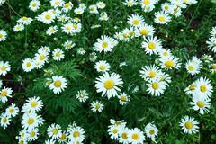 Summer chamomiles field of camomile flower royalty free stock photography