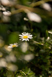 Summer chamomiles through the foliage of trees Stock Image