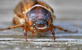 Summer chaver (june bug) Stock Images