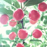 Summer Cherries. A group of bright red sour cherries bask in the light summer sun Stock Image