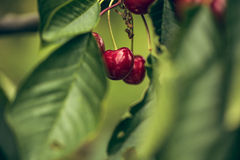 Summer Cherries Stock Photo