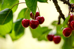 Summer Cherries Stock Photos