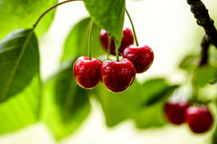 Summer Cherries Royalty Free Stock Images