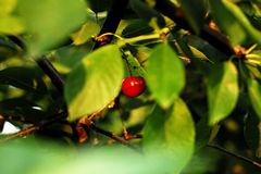 Summer cherry. The Beautiful summer delicated cherries Royalty Free Stock Photography