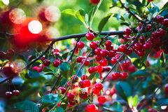 Summer cherry tree. In the garden Royalty Free Stock Image