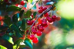 Summer Cherry. Tree in garden Stock Images
