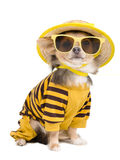Summer chihuahua Stock Photo